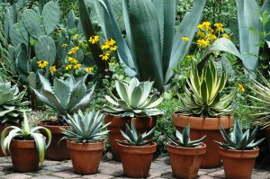 Agaves on the patio