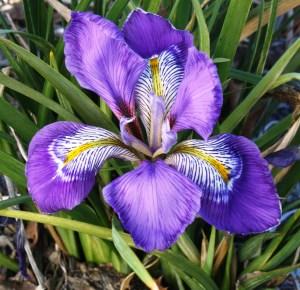 Iris unguicularis 'Dazzling Eyes' (Dazzling Eyes Winter Blooming Iris)