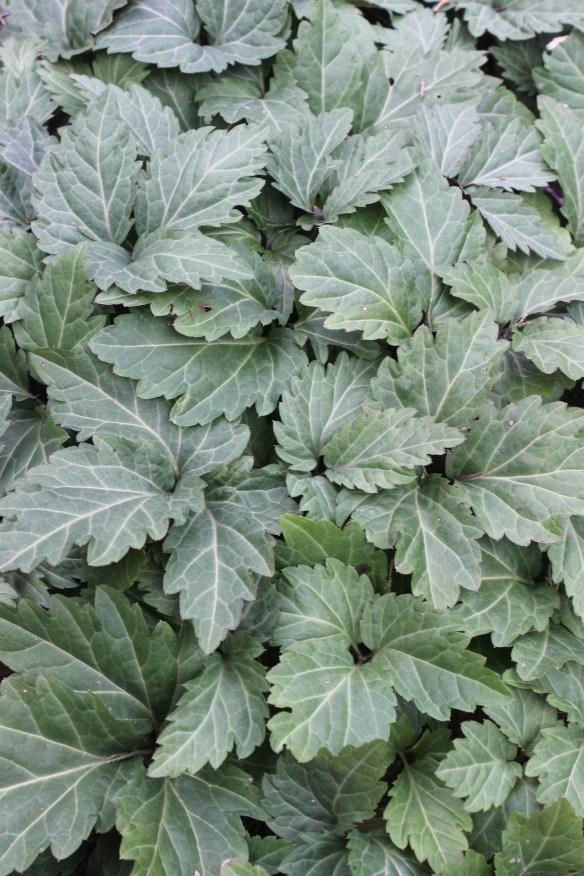 Dentaria diphylla American Sweetheart foliage