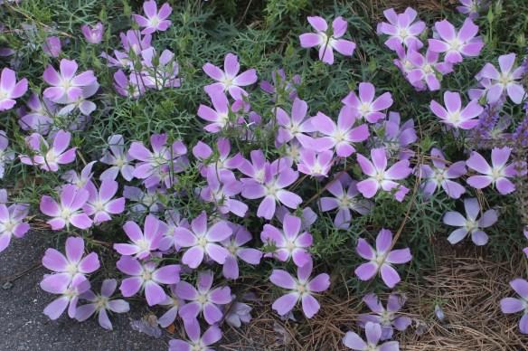 Callirhoe involucrata v. tenuissima12