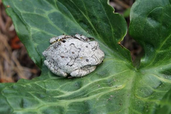 Grey tree frog