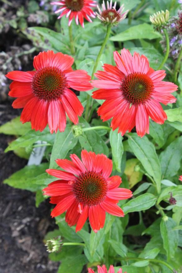 Echinacea Salsa Red5