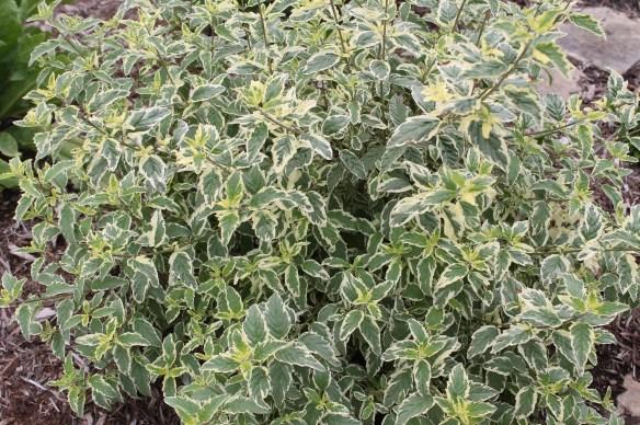 Caryopteris x clandonensis White Surprise foliage