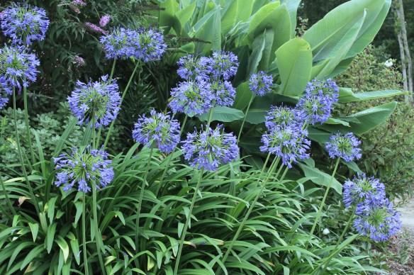 Agapanthus Ellamae mass in flower2