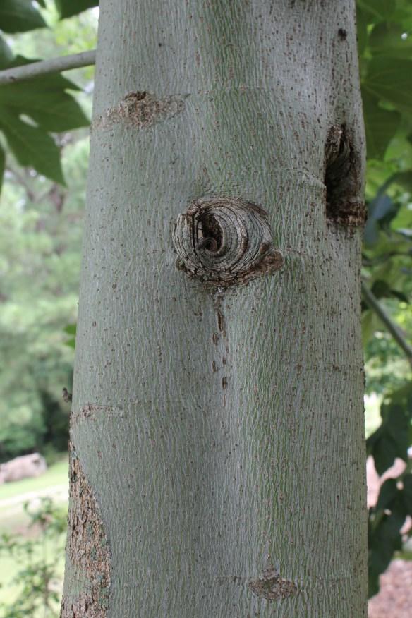 Firmiana simplex bark closeup