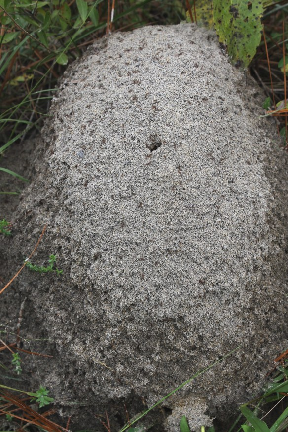 Fire ant mound in Croatan NF2