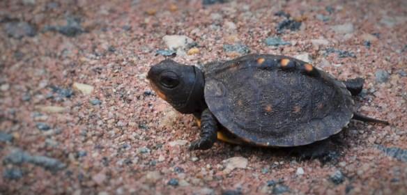 Mini turtle on patio (Anita)
