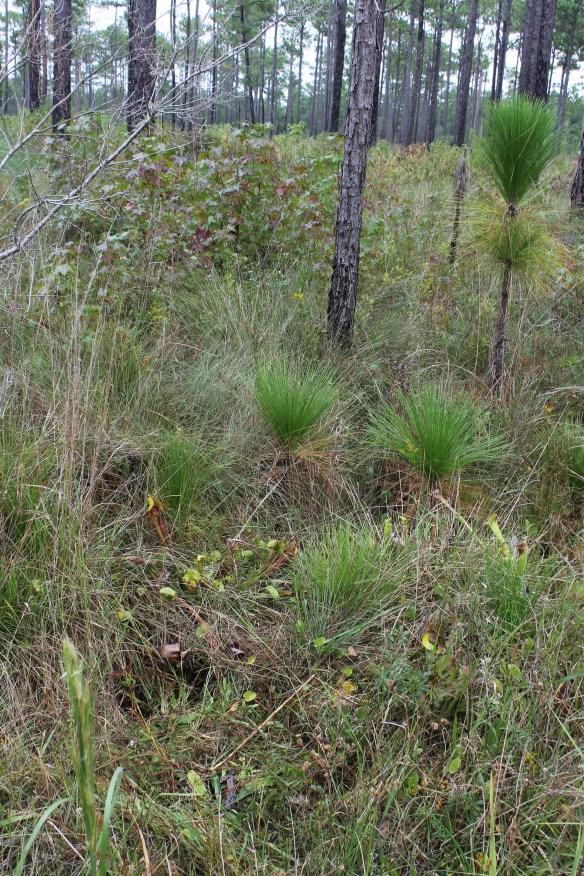Sarracenia habitat at Croatan NF