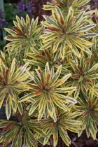 Euphorbia x martinii 'Ascot Rainbow' PP 21,401