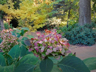 Hydrangea and Fall Color at JLBG