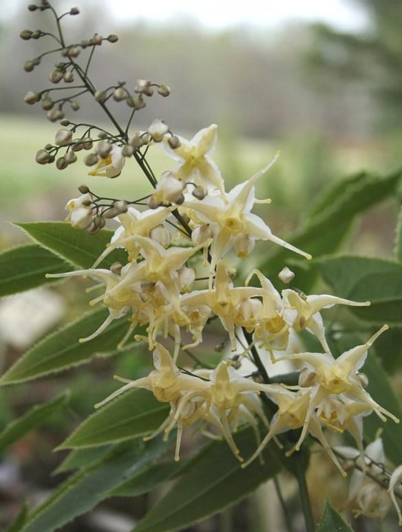 Epimedium wushanense 'Starlite' PDN 01 in flower-3.cc