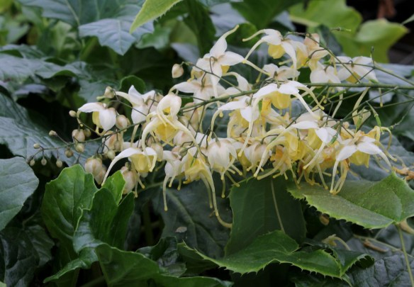 Epimedium wushanense Starlite flower closeup