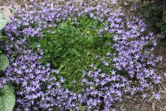 Campanula porscharkyana Camgood clump in flower