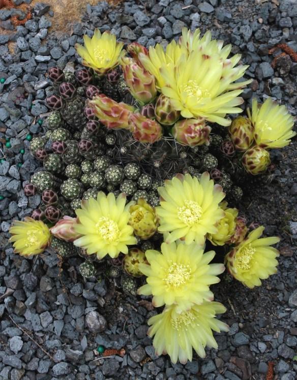 Gymnocalycium doppianum in flower (2)