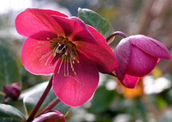 Helleborus Anna's Red flower closeup