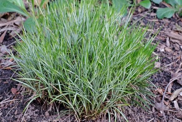 Carex morrowii Silk Tassel emerging2