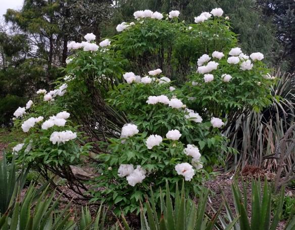 Paeonia ostii clump in garden in flower