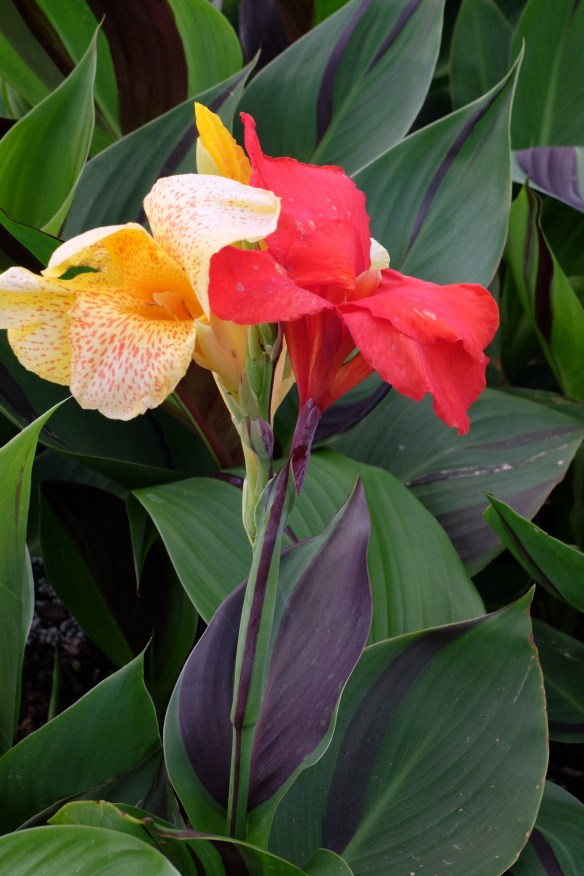 Canna Cleopatra in flower
