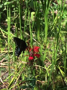 picture of Lobelia with butterfly