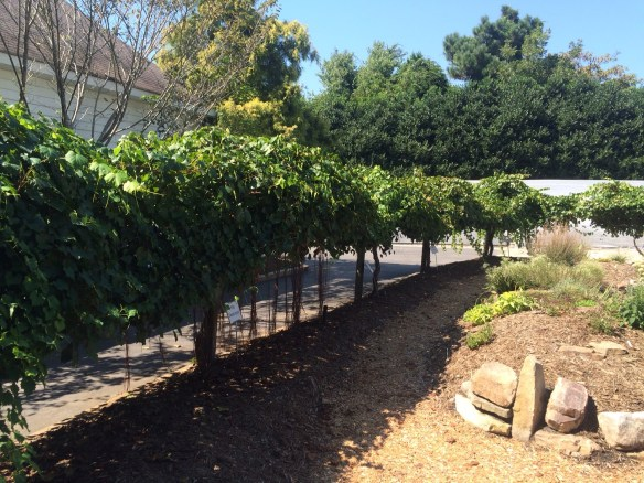 picture of our grape-arbor