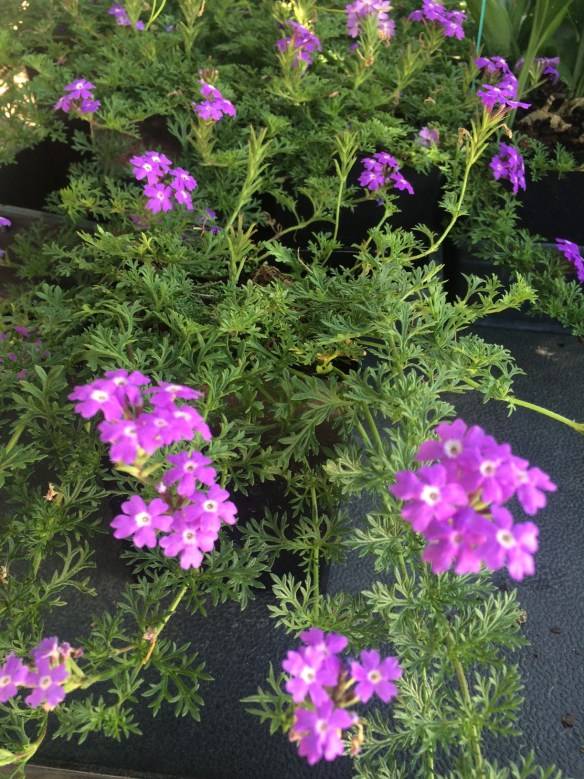 picture of verbena lavender-frappe added to out sales house today