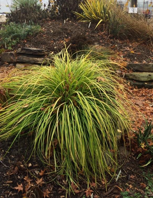 picture of Carex Everillo in the garden