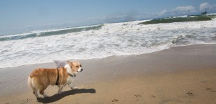 Corgination Corgi Beach Day, Huntington Beach, California