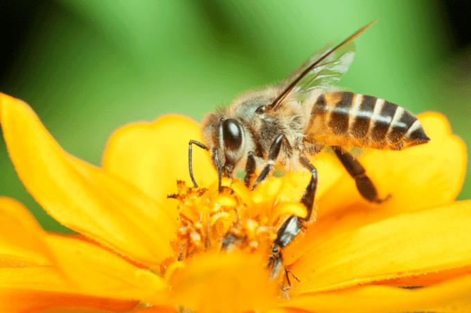 Abelhas: o agronegócio precisa de polinizadoras
