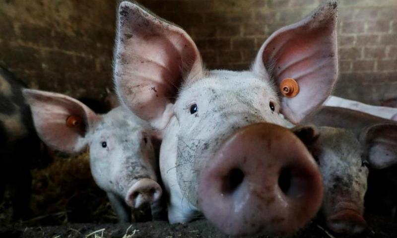 Peste Suína na China preocupa a demanda por soja no Brasil