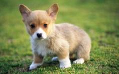 cachorro-filhote