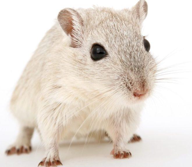hamsterlar ısırır mı