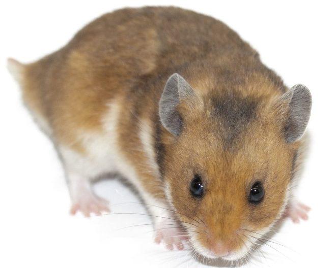 Çöl Hamsteri - Roborovski Hamster