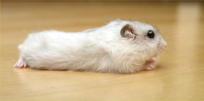 Sibirya Hamsterı