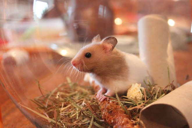 Suriye Hamsteri - Syrian Hamster