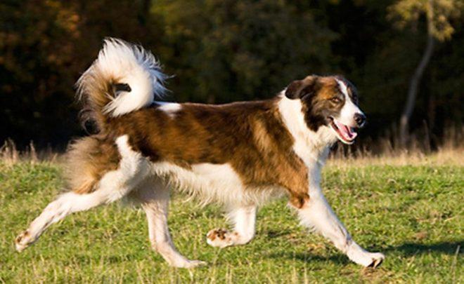 Atlas Çoban Köpeği