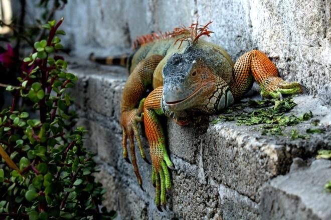 İguana Türleri Hakkında Genel Bilgiler