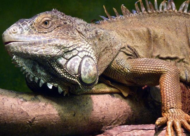 iguana hastalıkları ve belirtileri