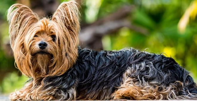 evde beslenebilecek köpekler Yorkshire Terrier