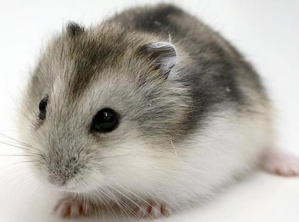 Campbell hamsteri özellikleri