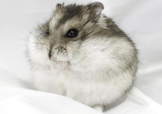 campbell hamsteri özellikleri ve bakımı