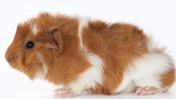 Guinea Pig Türleri Abyssinian