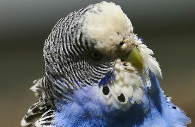 muhabbet kuşu kafesi nasıl seçilir?