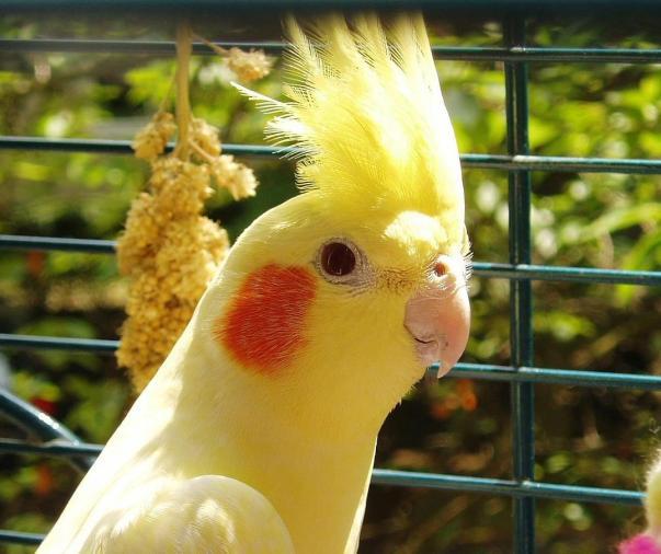 sultan papağanı kafesi nasıl olmalı