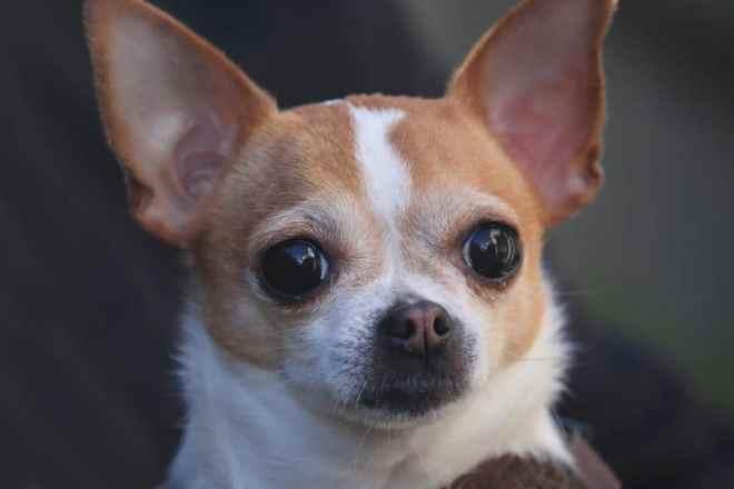 chihuahua köpek ırkı özellikleri ve bakımı