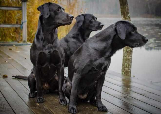 Labrador cinsi köpekler ve özellikleri