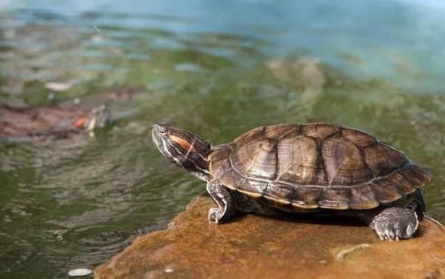 su kaplumbağalarında kış uykusu hibernasyon