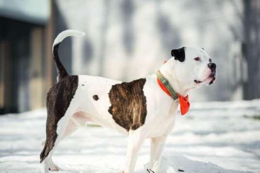 Tehlikeli köpek ırkları