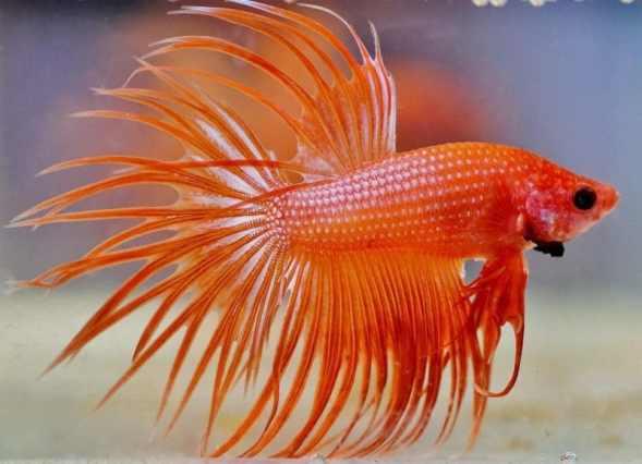beta balığı hakkında