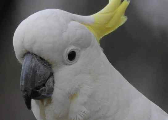 kakadu papağanı hakkında