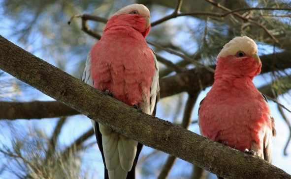 kakadu papağan türleri